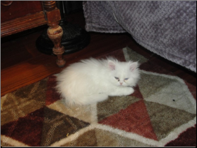 SOLD Odd Eyed White Persian Male SOLD (SKU: Snowman)