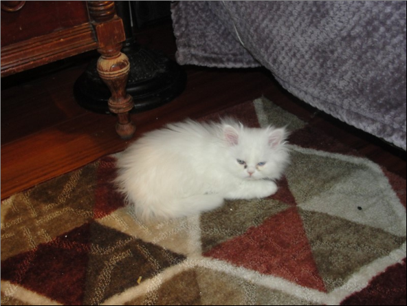 SOLD Odd Eyed White Persian Male SOLD