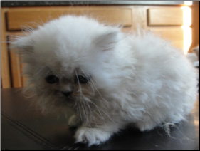 SOLD Silver Point  Himalayan Male SOLD (SKU: Spirited)