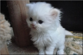 SOLD Copper Eyed White Persian Female SOLD (SKU: Stella)