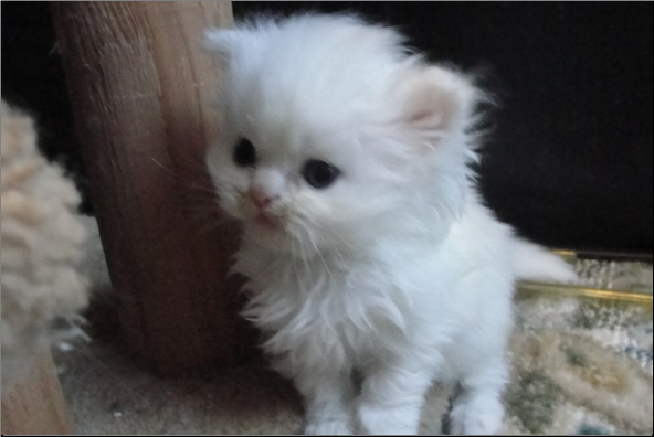 SOLD Copper Eyed White Persian Female SOLD