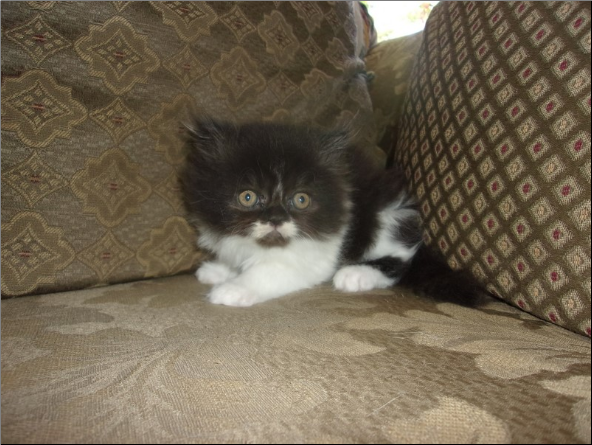 SOLD Black and White Bi-Color  Persian Female SOLD
