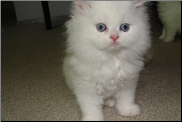 Blue Eyed White Persian Male