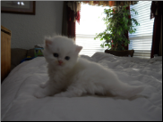 Pure White Persian with Blue Eyes Female