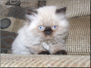 Teacup Chocolate Point Himalayan Male